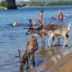 Az emberekkel együtt strandolnak a szarvasok Finnországban
