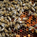 Méhekkel tanulmányozzák Róma légszennyezettségét
