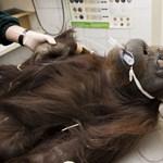 Az orangutánoknak néha tényleg több eszük van, mint az embernek