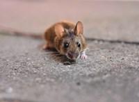 Német kutatók elérték, hogy újra járni tudjanak a bénult egerek