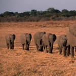 Ötvenöt elefántot ölt meg az aszály Zimbabwéban