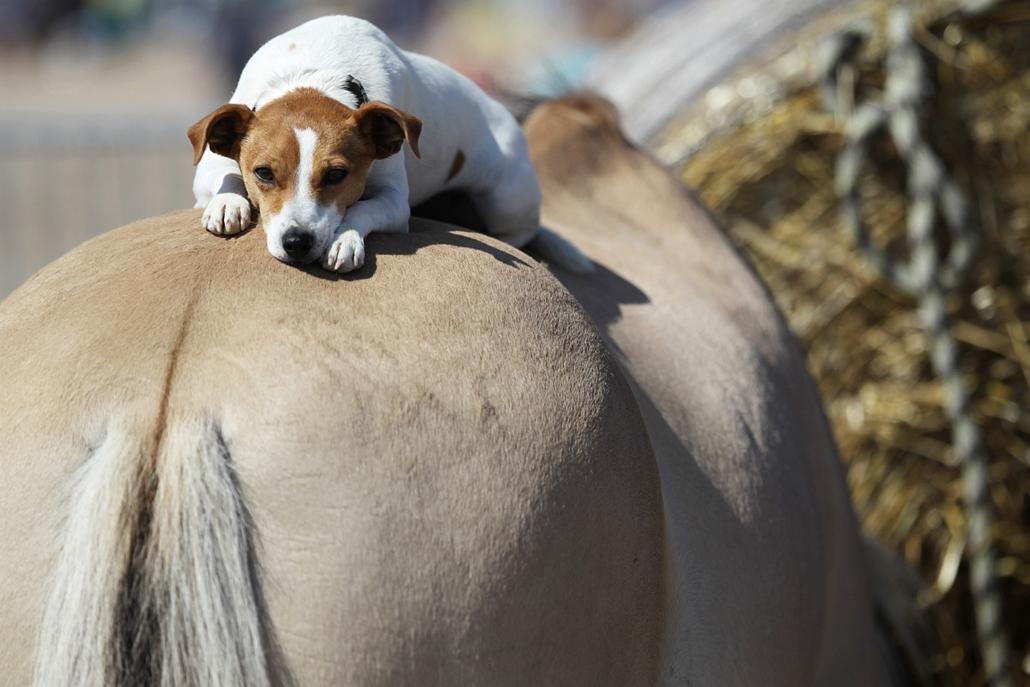 afp. 2014. állatos nagyítás, kutya, alszik, Franciaország, 2014.08.20. Ouistreham : A dog lays on the back of a horse in Ouistreham, northwestern France, on August 20, 2014.