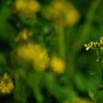 Virágzik a repce Debrecen határában - fotók