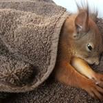 Gyógytornára viszik a Mályiban elgázolt mókust, de az étvágya már jó