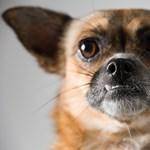 Az amerikai kutyatulajdonosoknak egyszerűen nincs fantáziájuk