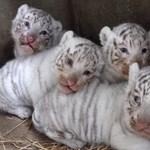 Fotók: így játszanak a nemrég született fehértigriskölykök