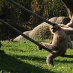 Veszélyeztetett állatfajok is kitettek lehetnek a koronavírusnak