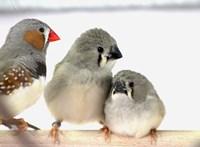 Egy kísérletből derült ki, micsoda hatással vannak a madárfiókákra a város zajai
