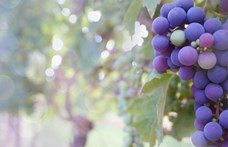 Milliárdos cégek veszteséges borászata