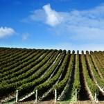 Világcsúcs: Egy szem szőlőért százezer forint