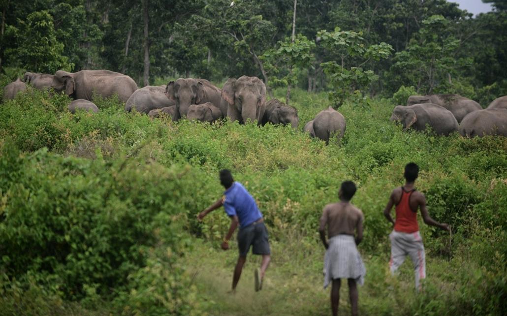 afp.15.05.25. - Kolabari, India: falusi emberek egy elefántcsorda mellett - túl közel merészkednek a felszámolt élőhelyek miatt - 7képei