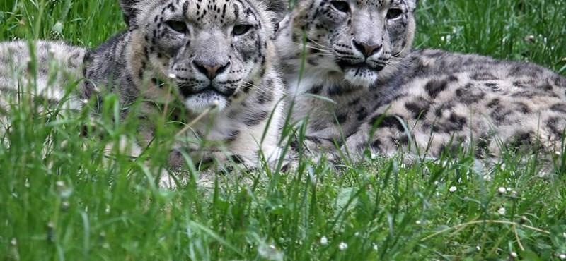 Nepálban tíz év alatt a kétszeresére nőtt a vadon élő tigrisek száma