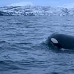 Kardszárnyú delfinek támadják a hajókat a spanyol partoknál