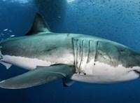 """Megfejtették 3200 kilós fehér cápa hosszú életének titkát, az emberek is """"tanulhatnak"""" belőle"""