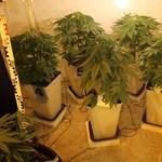 Életfogytiglant is kaphat a marihuánatermesztő férfi