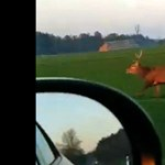 Videó: megmutatta szarvas az autósnak, hogy 60-nál is simán átugorja a kocsit