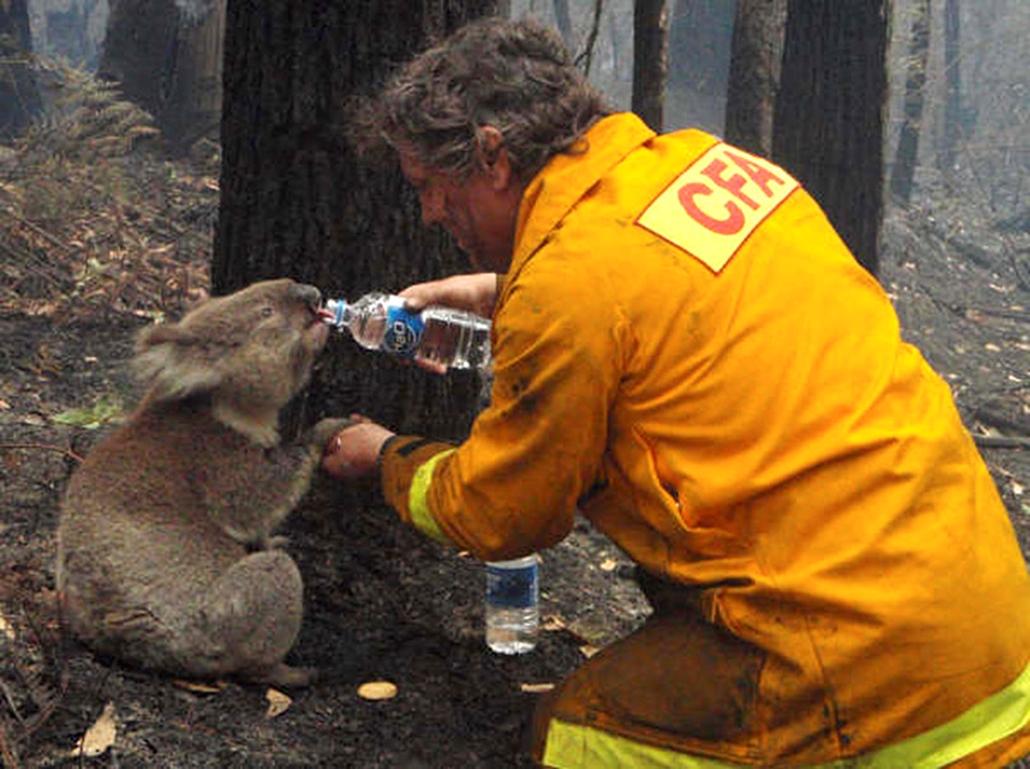 Ausztráliai tűzoltó ad vizet egy sérült koalának, amikor bozóttüzek sújtották az országot.