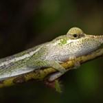 Különleges kaméleonokra bukkantak a kutatók Madagaszkáron