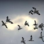 A repülőgépek is tanulhatnának tőlük: ezért nem ütköznek össze soha a madarak