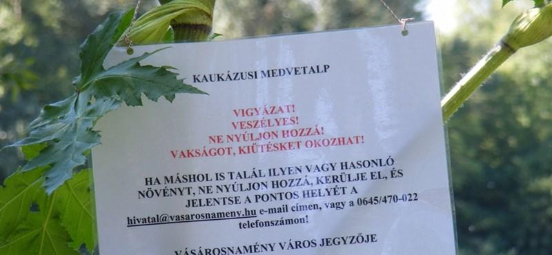 Magyarországon egyelőre nem kell tartani a kaukázusi medvetalptól