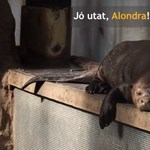 Visszaengedik a vadonba a budapesti állatkert óriásvidráját