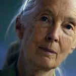 Májusban Budapestre jön Jane Goodall