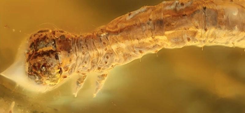 Ritka lelet: előkerült egy borostyánba zárt, 44 millió éves hernyó
