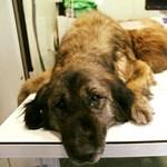 Felfoghatatlan állatkínzás: 16 kilós daganatot operáltak le a kutyáról