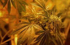 Fociultrák csempésztek 15 tonna marihuánát Lengyelországba