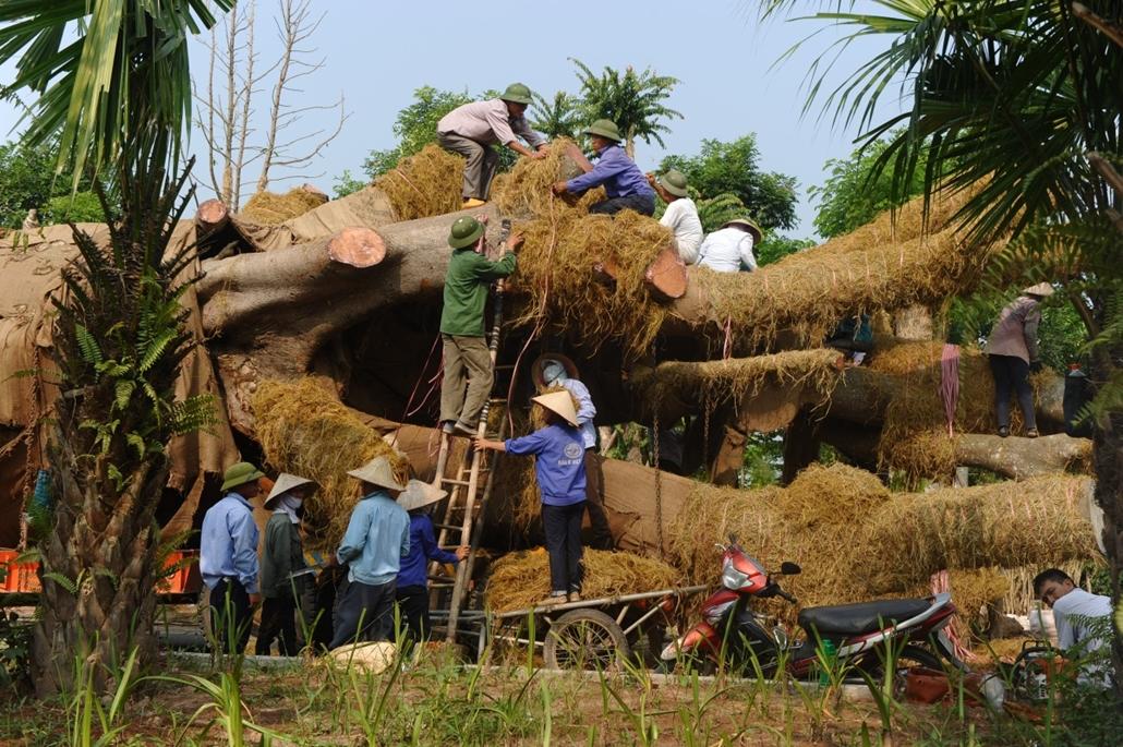 afp.14.09.26. - Hanoi, Vietnám: munkások egy fa elszállítása és újratelepítése előtt - 7képei