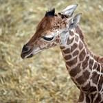 Zsiráfbébi született az állatkertben - galériával