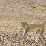 Külön hangjelzéssel jelzi a drónokat egy afrikai majomfaj