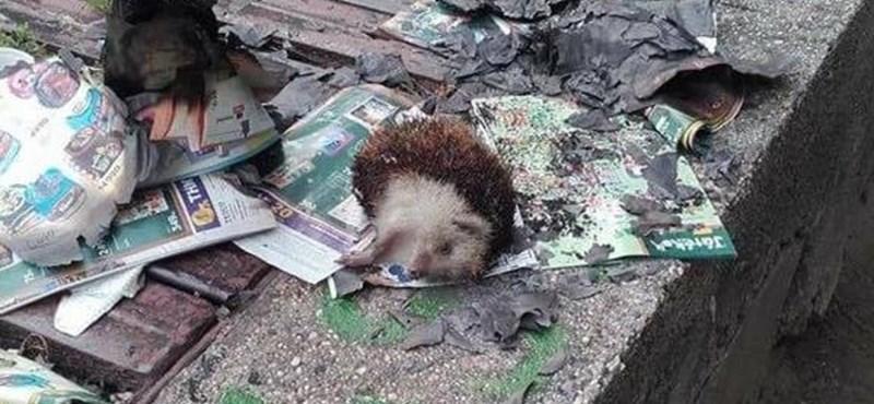 Újabb durva állatkínzás: felgyújtottak egy sünit a XIII. kerületben