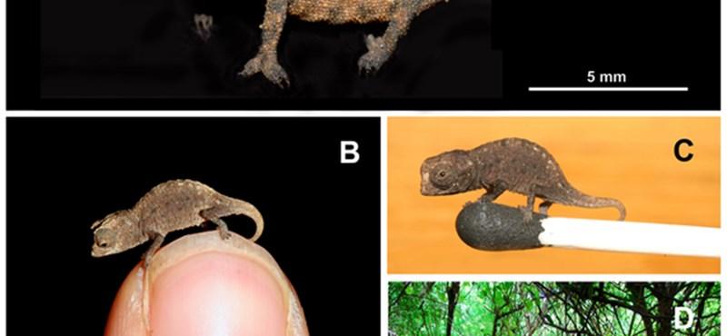Fotók: felfedezték a világ legkisebb kaméleonjait