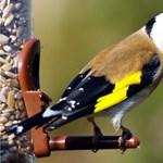 Élő védett madarakat fogott a NAV Röszkénél