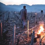 Gyönyörű fotók arról, hogy miért nem félnek a francia gazdák a fagytól