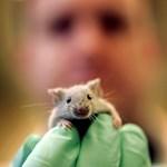 Nőstény egereket változtattak leszbikussá génmanipulációval