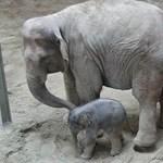 Most meglesheti, hogyan kezdett szopni a pesti állatkert elefántbébije