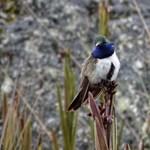 Bajban a kék torkú tündérkolibri: alig fedezték fel, máris súlyosan veszélyeztetett