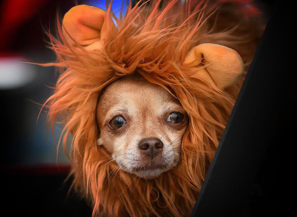 AFP - Nagyítás - Állati 2016 - 16.12.31. - Halloweeni kutyajelmez a kaliforniai Long Beach-i parádén
