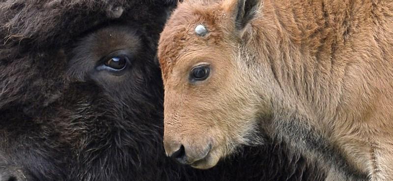 Nagyon ritka bölény született a belgrádi állatkertben