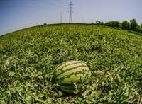 Dinnyekáosz: a termelők már 500 forintos kilónkénti árakról beszélnek