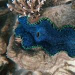 Bébikorallokat vetnek be a Nagy-korallzátony megmentésére a következő hetekben