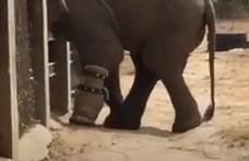 Orvvadászok csapdája vágta le a kiselefánt lábát, egyedi protézist terveztek neki