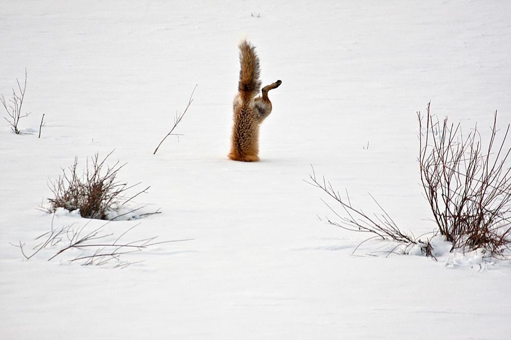 'Honorable mention', 'temészet' kategória - Egyesült Államok, Wyoming: egérre vadászó vörös róka a Squaw Creek Park Country területén. - NatGeonagy