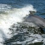 Kiderült: a nőstény delfinek is képesek lehetnek az orgazmusra