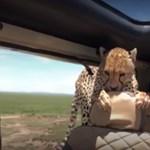 Ön mit tenne, ha a kocsija hátsó ülésére beülne egy gepárd?