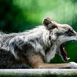 A farkas sem játék, és már szembejöhet Magyarországon is