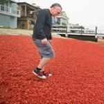 Fotók: Vörös rákszőnyeg borította be Kalifornia partjait