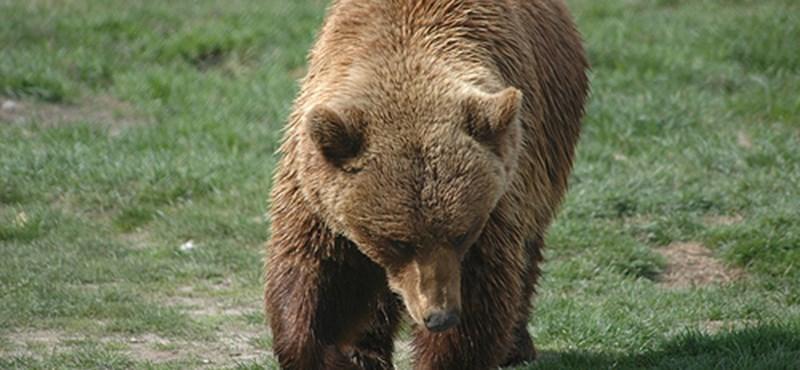 Két magyar turistát támadott meg a medve Romániában